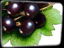 Pixley Berries - Blackcurrants